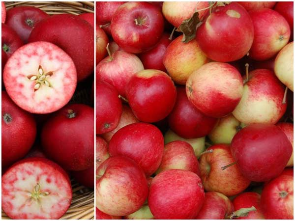 spania poikilia milon - red apples (6)