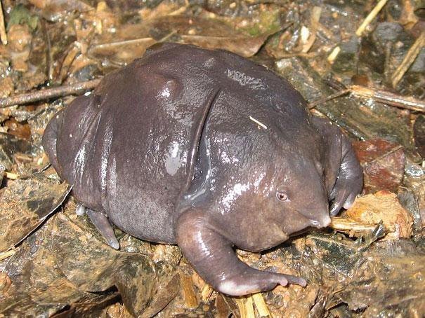 15. Indian Purple Frog