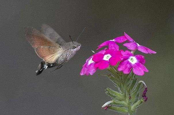 7. Hummingbird Hawk-Moth