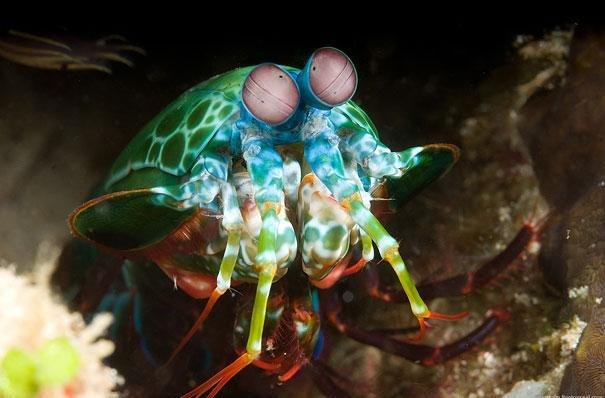 9. Mantis Shrimp