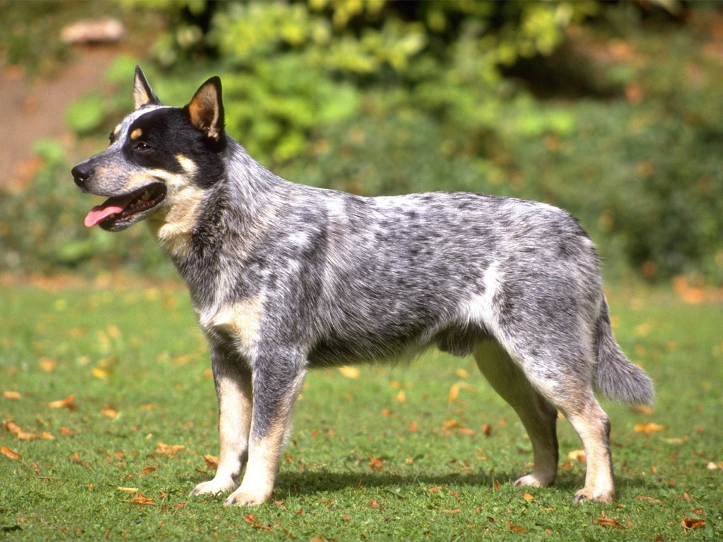 Australian-Cattle-Dog-Pics