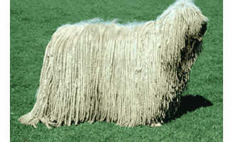 komondor_dog