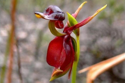 flying-duck-orchid