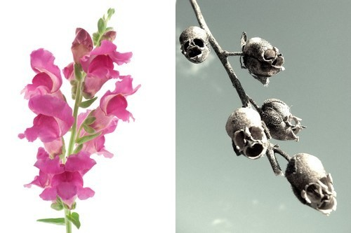 snapdragon-and-its-skull