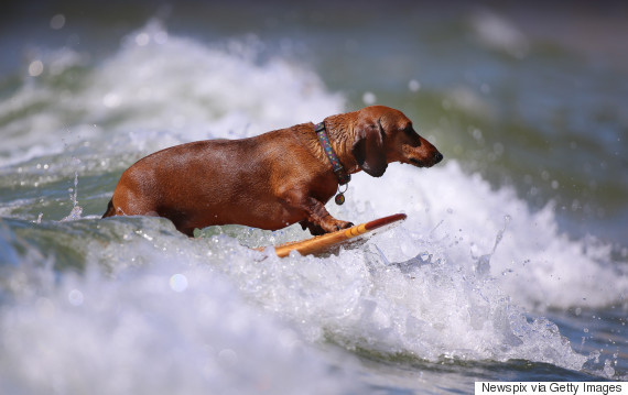 TORQUAY, AUSTRALIA - JANUARY 23: (EUROPE AND AUSTRALASIA OUT) Jess Coles takes her 3-year-old dachshund 'Basil' for a surf in Torquay, Victoria. (Photo by Alex Coppel/Newspix/Getty Images)